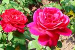Закладка оранжереи роз