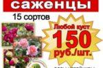 Саженцы роз на бахче Пономаревых