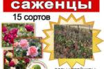 Продаём саженцы роз